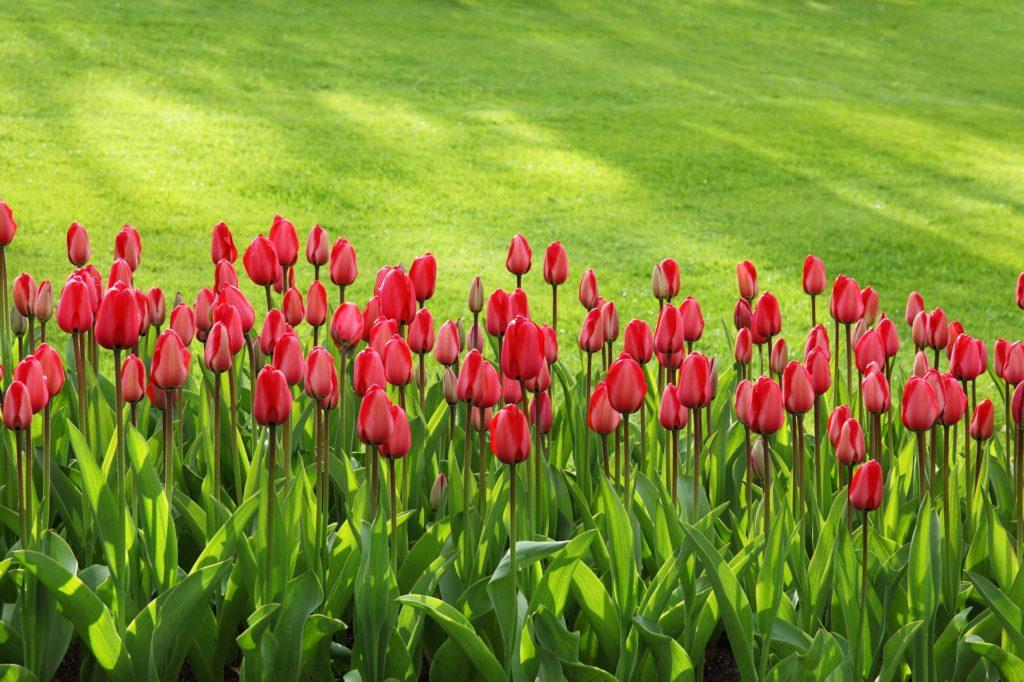 gartner have park anlæg græs blomster tulipan