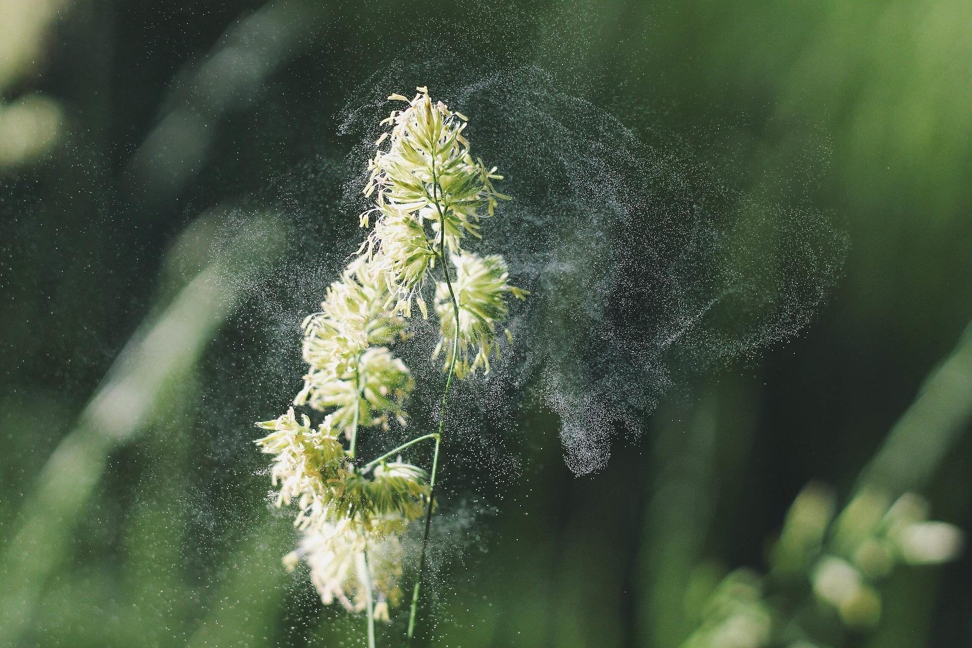 allergi pollen